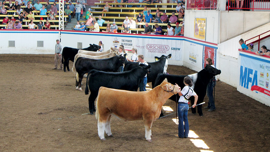 Cattle in MO state fair