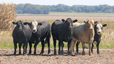 Generic cattle