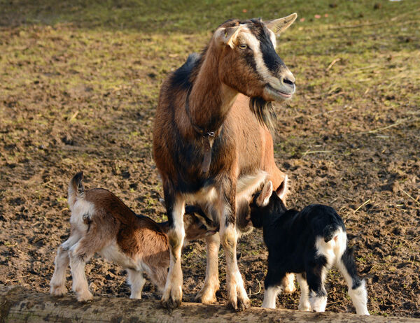 Sheep survey goats