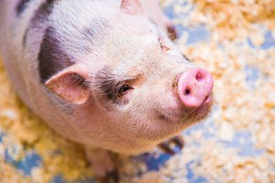 Flu season impacts hogs, producers