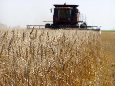 Spring Wheat Harvest (copy)