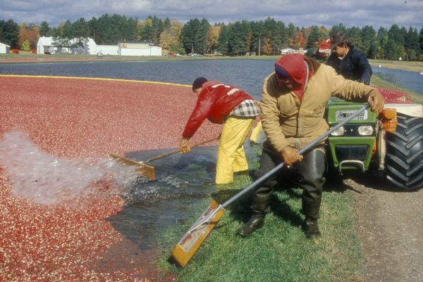 Wisconsin Historical Society -- cranberry harvest