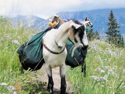Pack goats: A hunter's new best friend 3