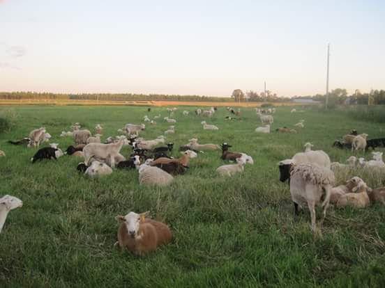 Haffner Katahdin Sheep