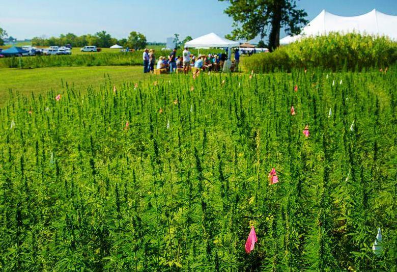 Industrial hemp field day at University of Kentucky