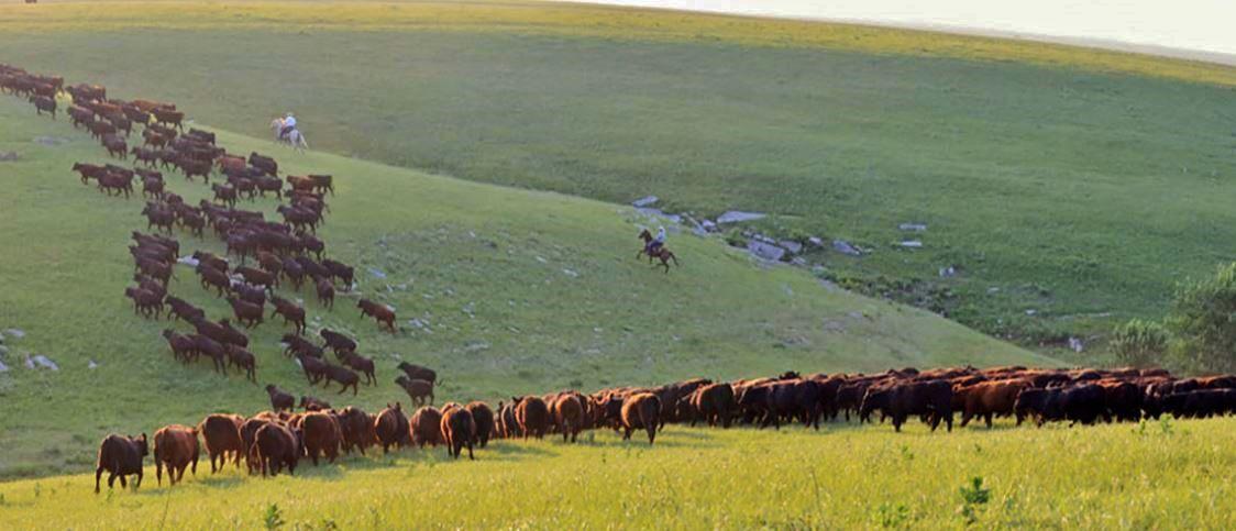 Beef cattle on range
