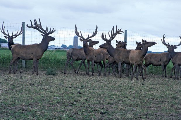 Expenses low, novelty high when raising elk | Agriculture