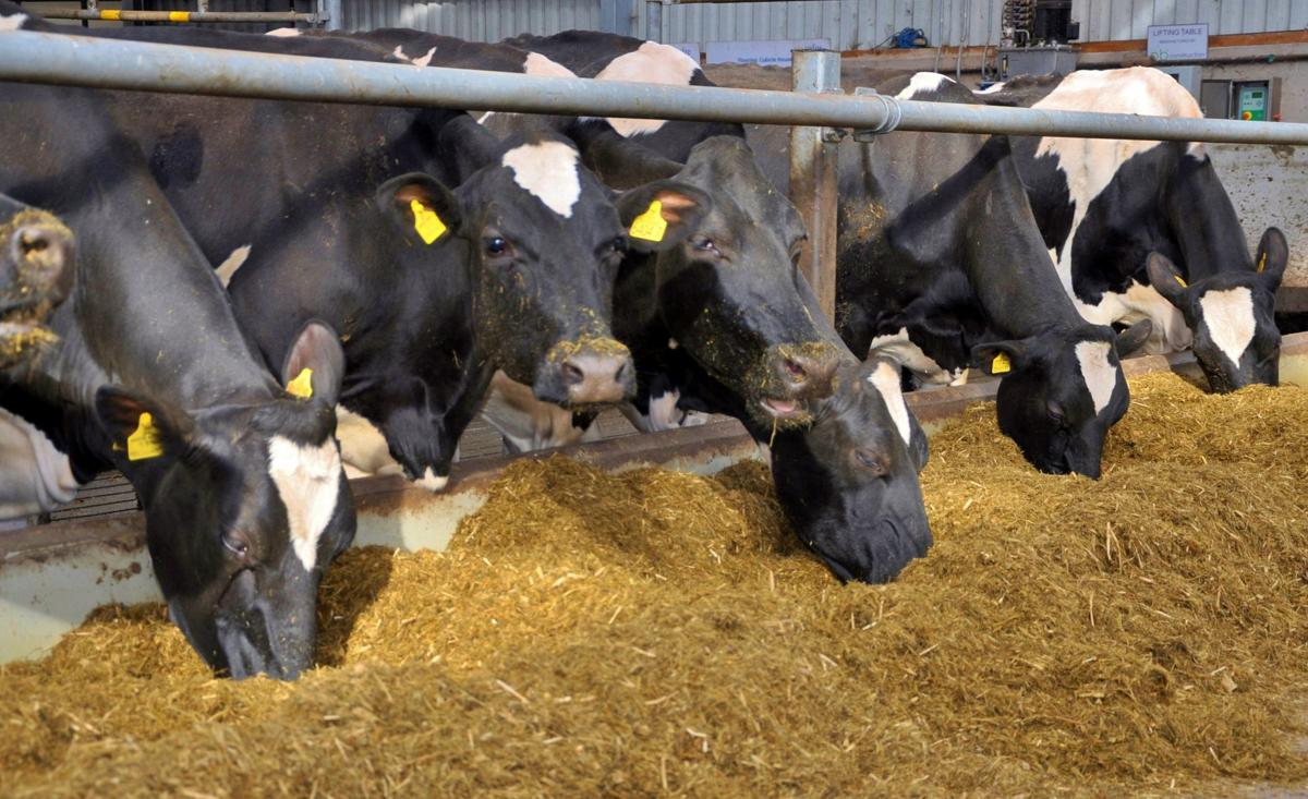 Holstein cows eating feed