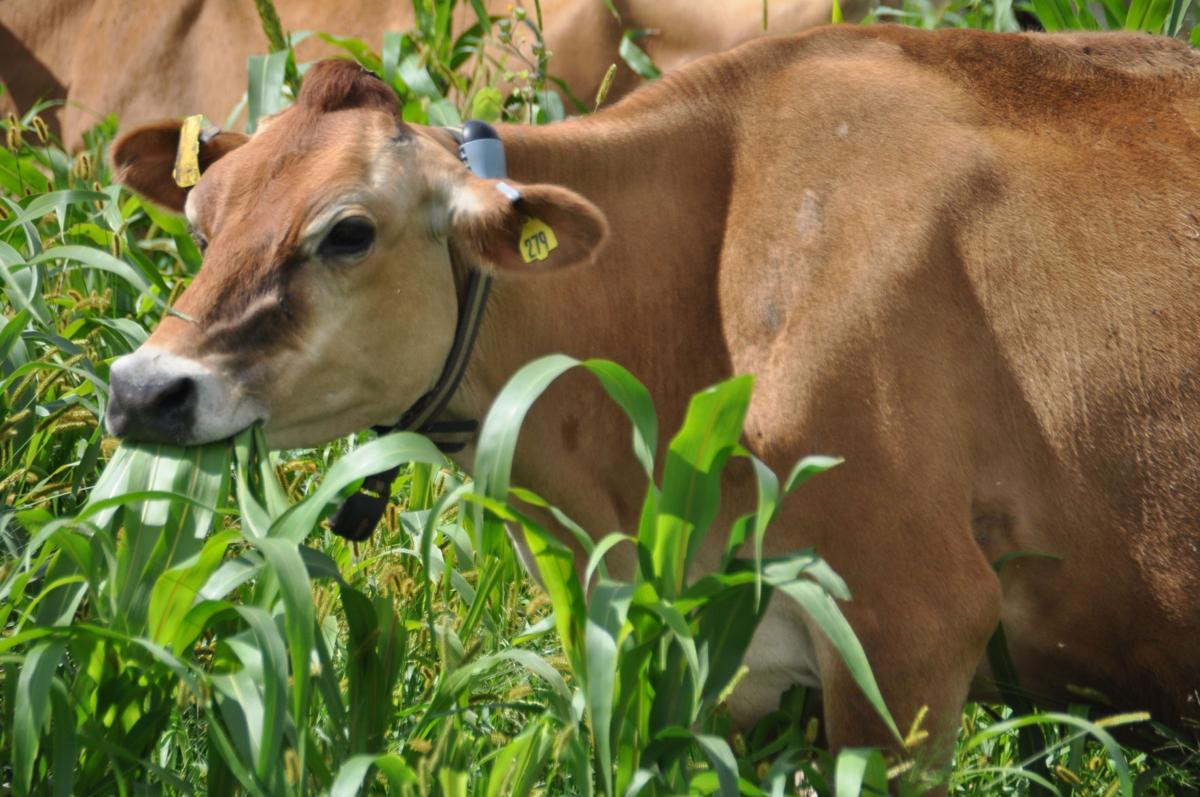 Jersey dairy cow munches in pasture