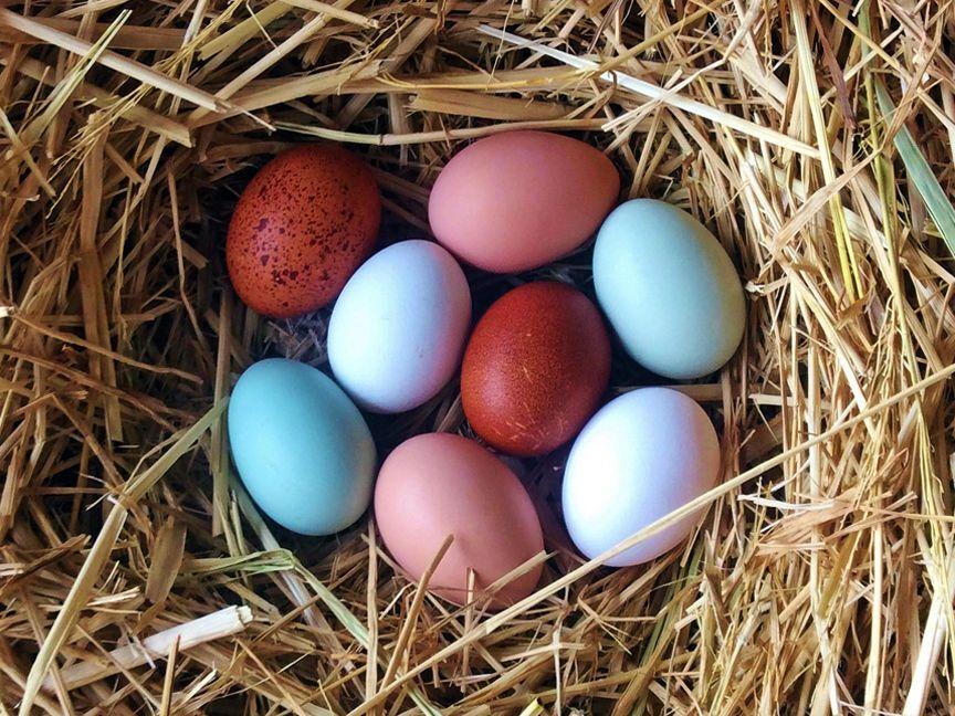 Colored chicken eggs