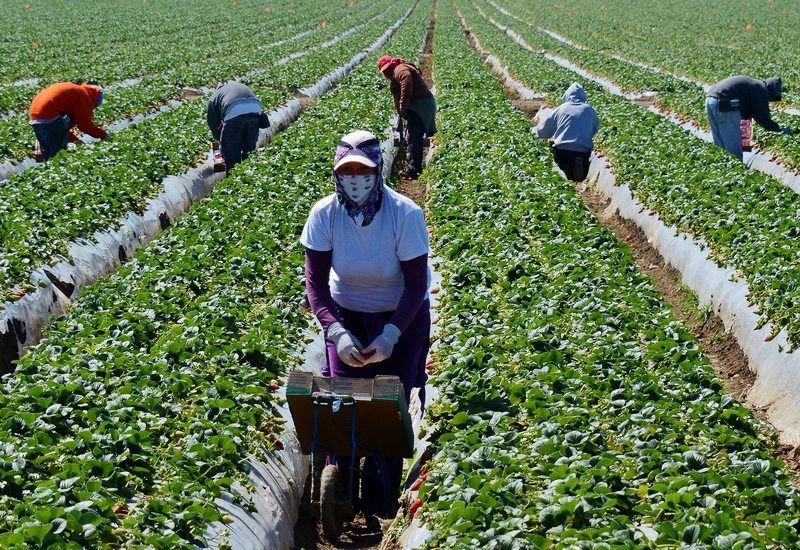 Workers manage California crops