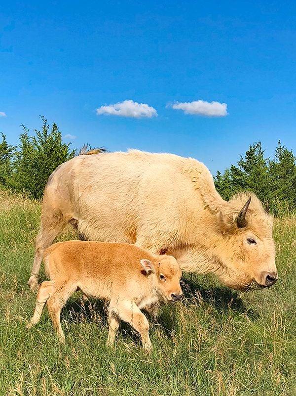 bison Comstock Premier Lodge