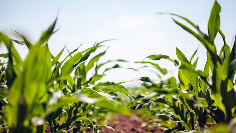 Corn grows in field