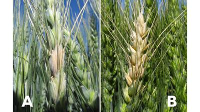Fusarium head blight
