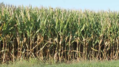 Corn in mid September in Illinois