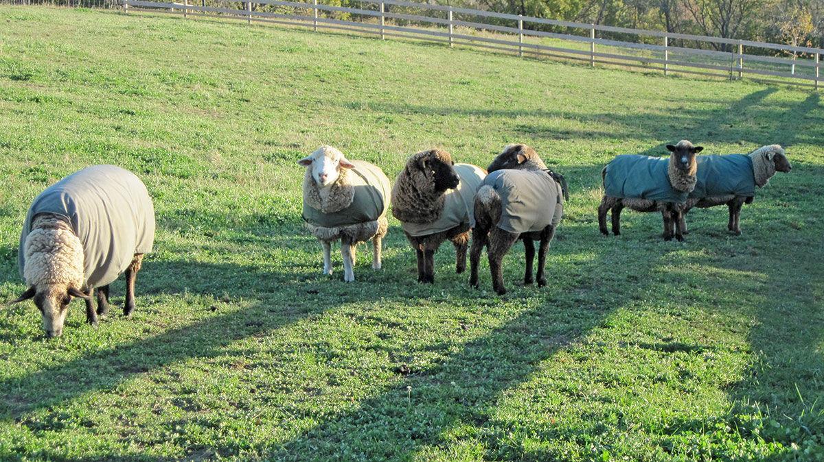 Romeldale/CVM and Romney sheep