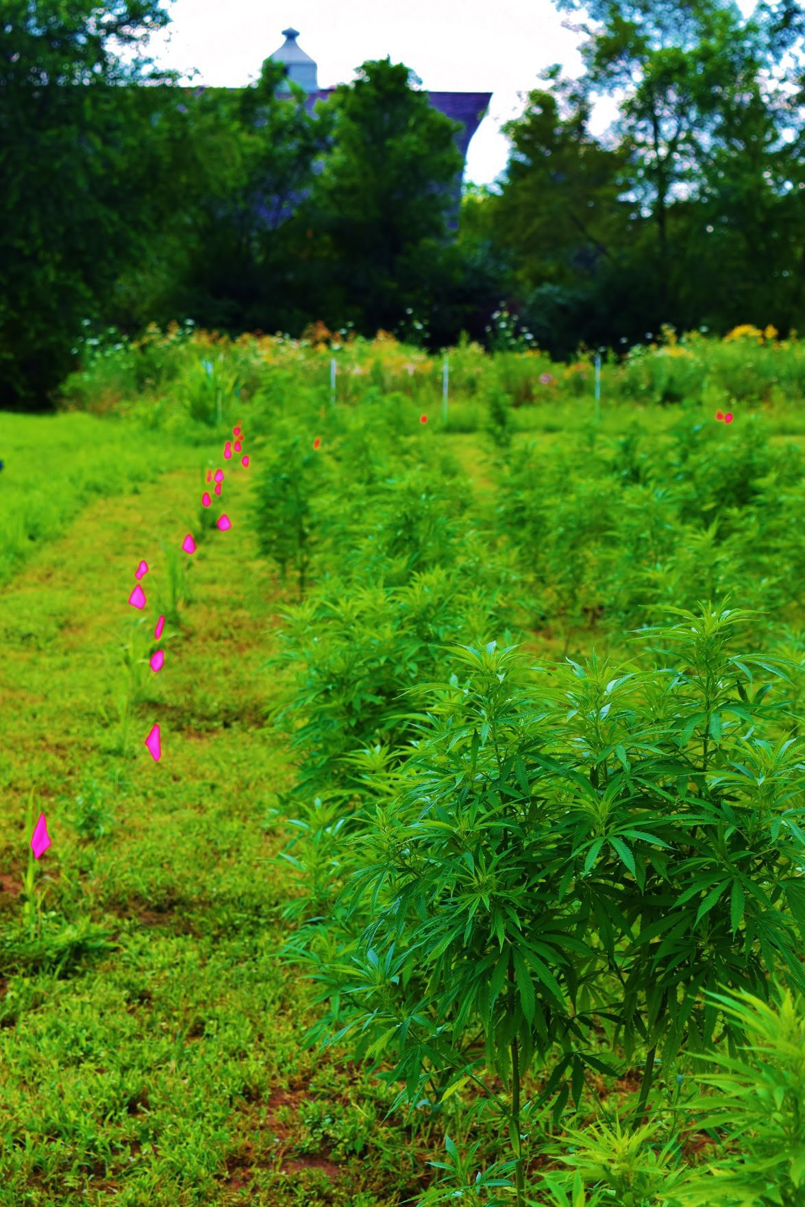 Test plots for evaluating hemp varieties for CBD production