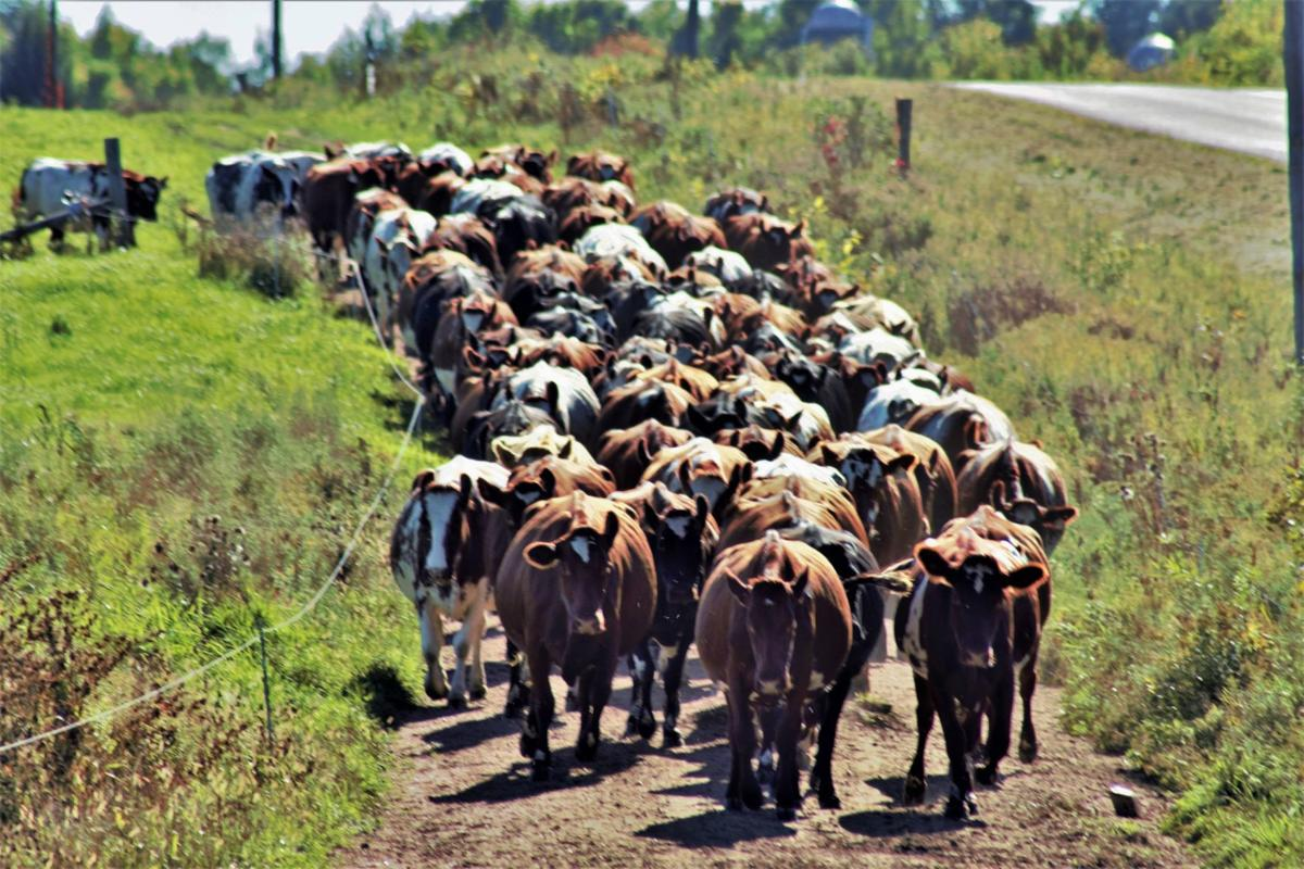 Cattle come in off pasture