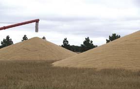 Wet grain piles deteriorate rapidly