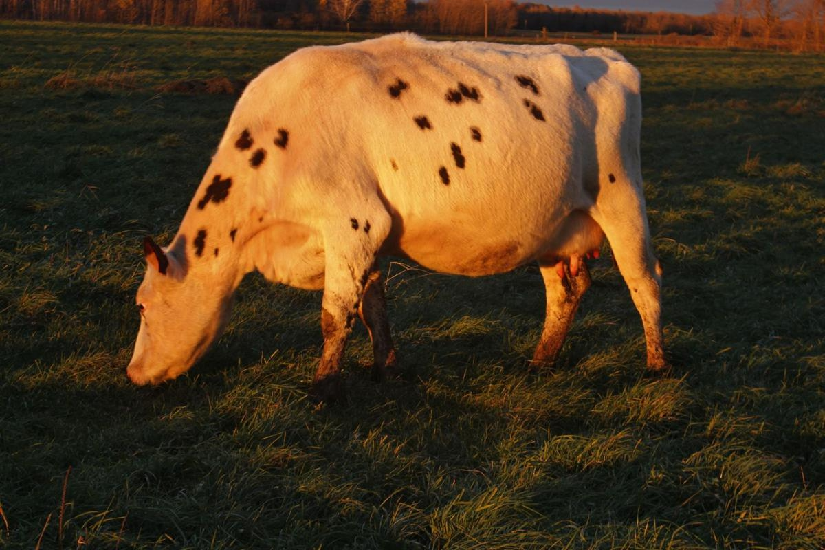Normande-cross dairy cow
