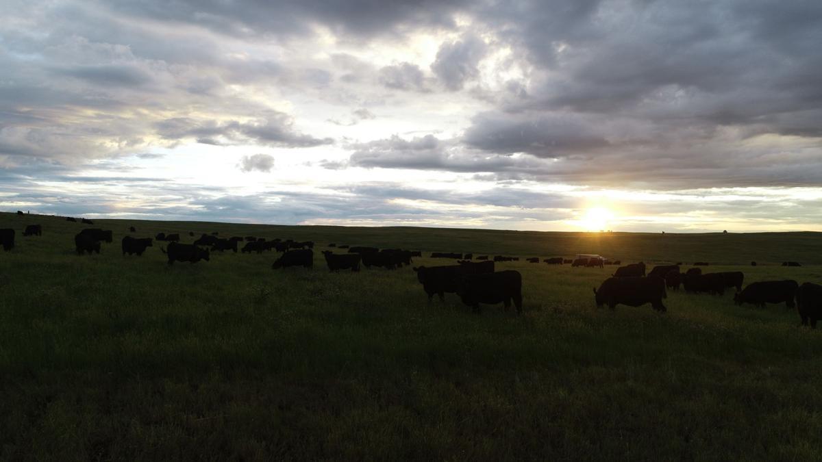 Freeland cattle