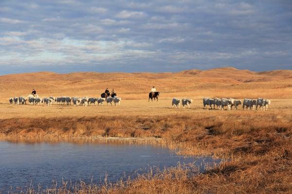 Beef Breeds: Charolais 2