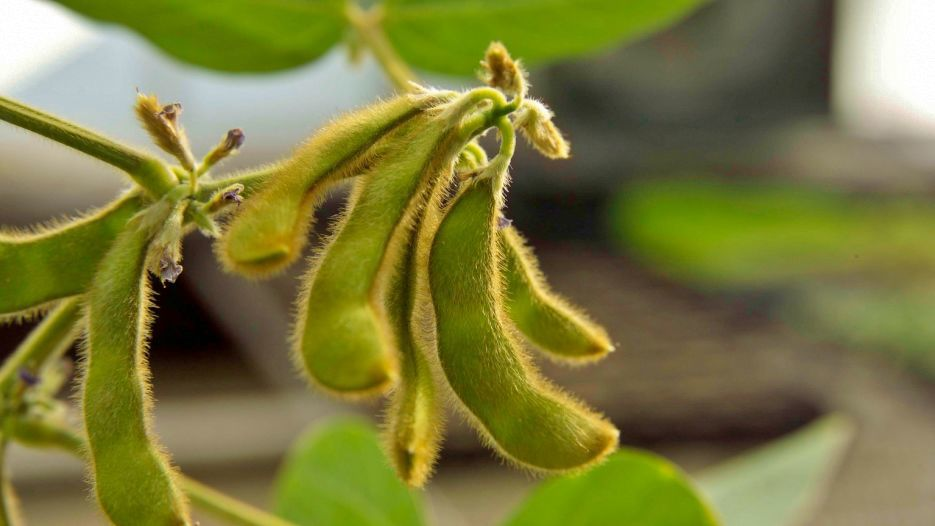 Ripe soybeans closeup in field