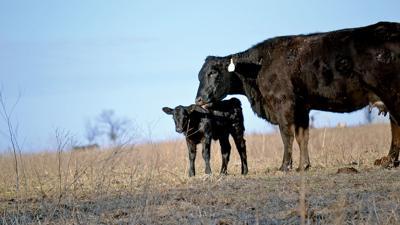 Cow calf in pasture