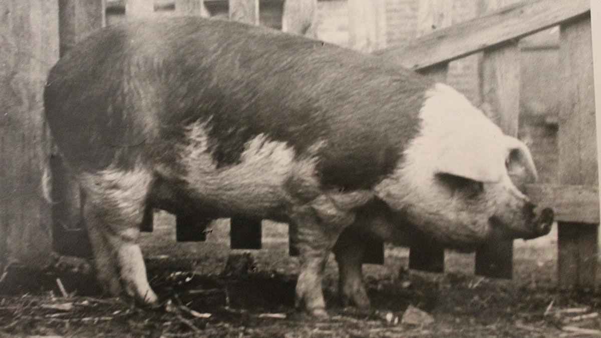 Hereford hog King Neptune