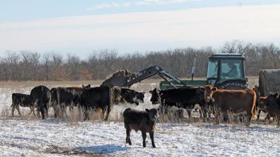 Cattle on winter feed