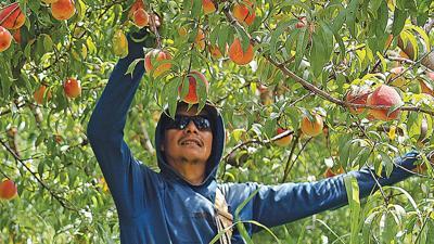 Mileur Orchard peaches
