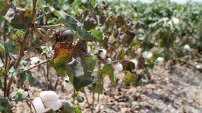 Missouri's cotton acreage