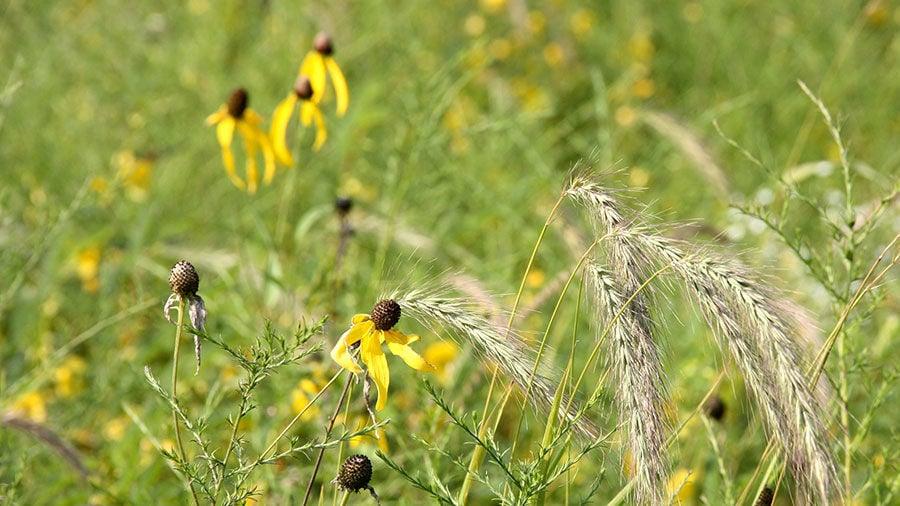 Roadman prairie flowers