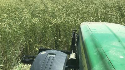 tractor crimps cereal rye