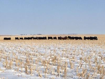 Cattle on cornstalks in Kansas