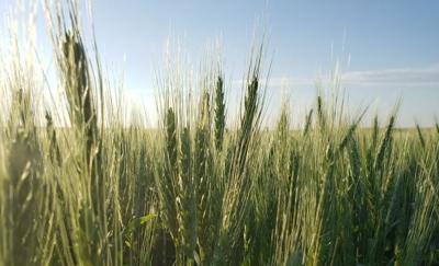 Bettenhausen wheat