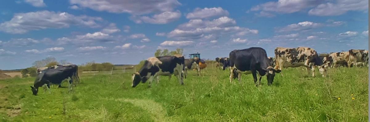 Cows graze in field May 13 -- first graze