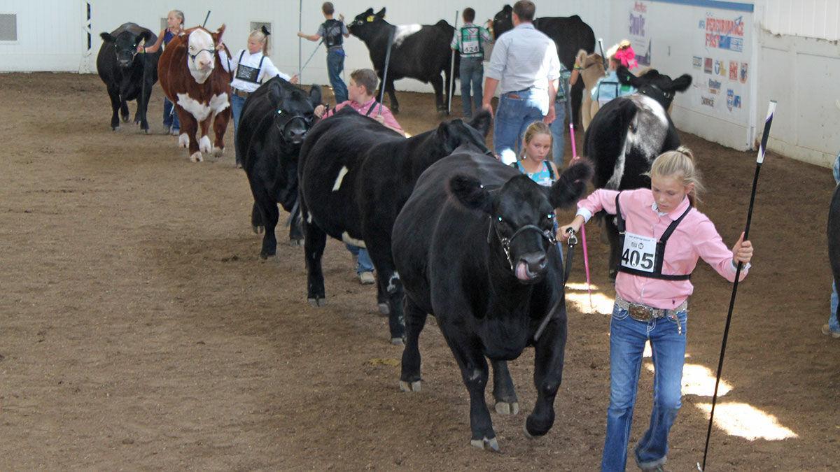 Missouri State Fair livestock show