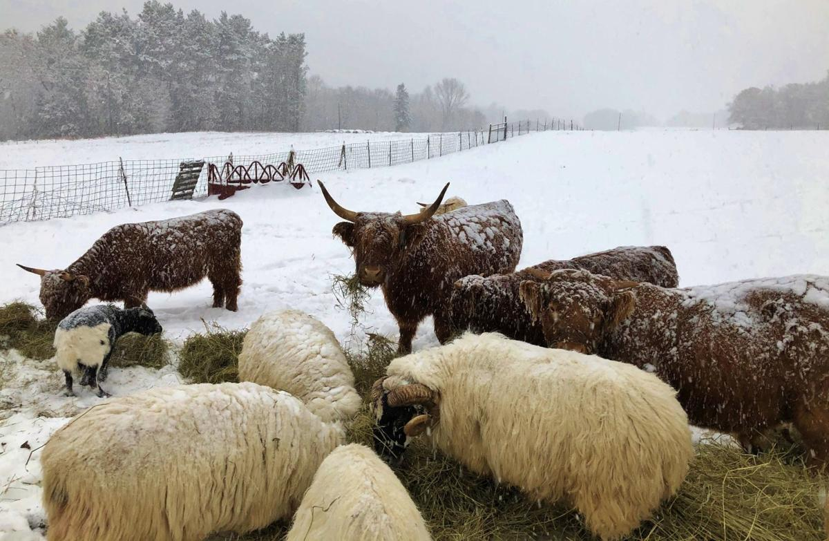Early snow covers cattle and sheep