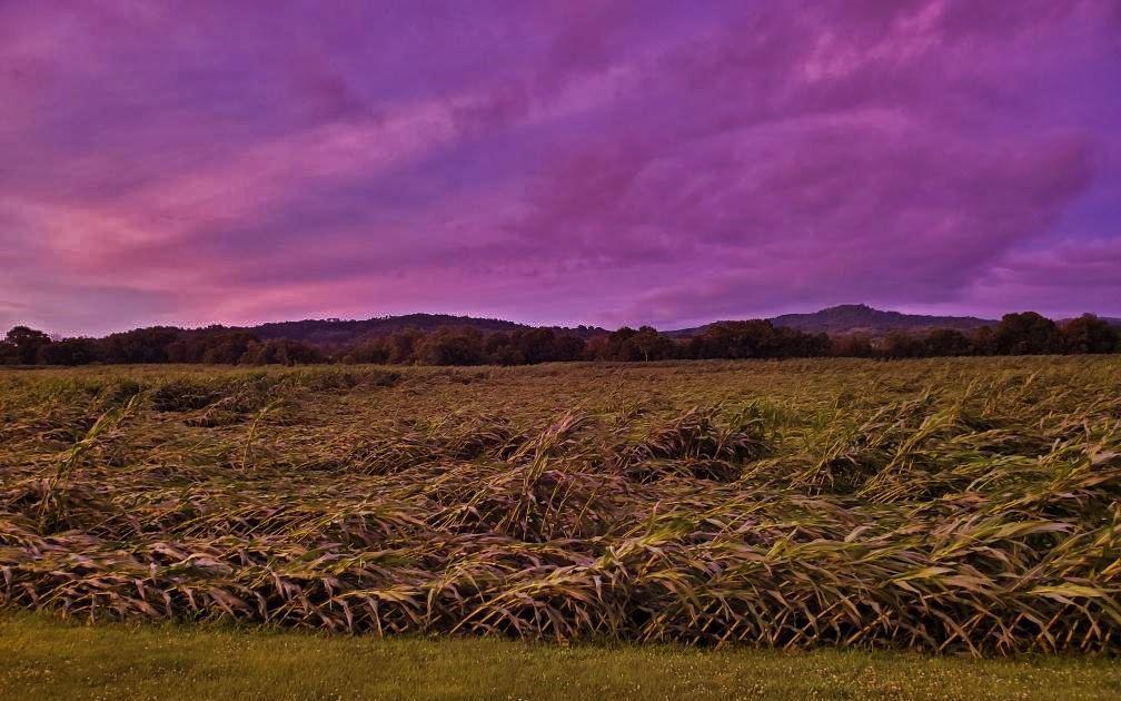 Downed corn field