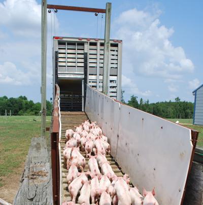 Loading pigs