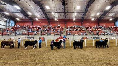 Charity steer show