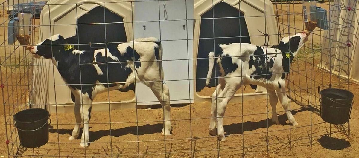 Calves in hutches