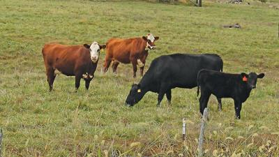 Cattle on short pasture
