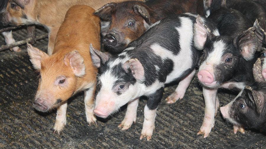 Pigs (copy)