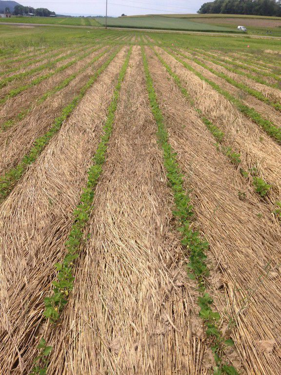 No-till soybeans emerge through roll-crimped cereal-rye residue