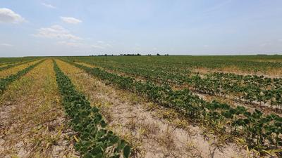 soybeans cupped-leaf effects of dicamba drift damage