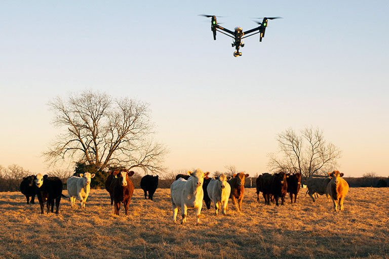 drone hovers over cattle