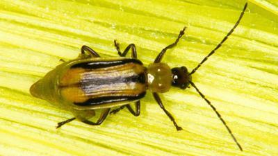 Western corn rootworm beetles
