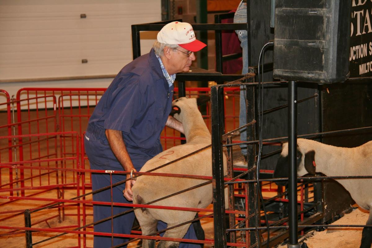 Dave Thomas working with sheep